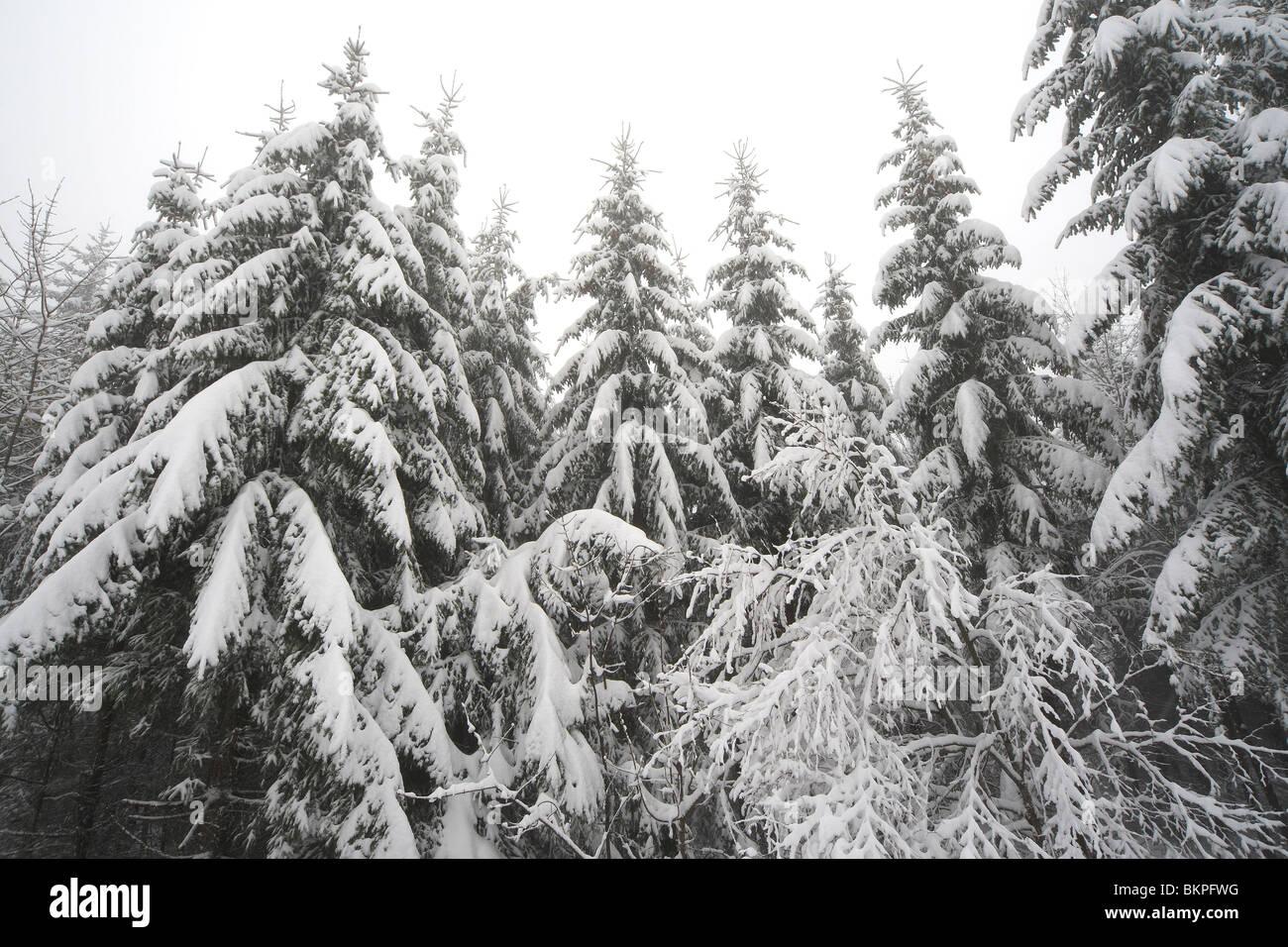 Besneeuwd naaldbos in de winter, nationaal park Vercors, Frankrijk Snow covered pine forest in winter, Vercors national - Stock Image