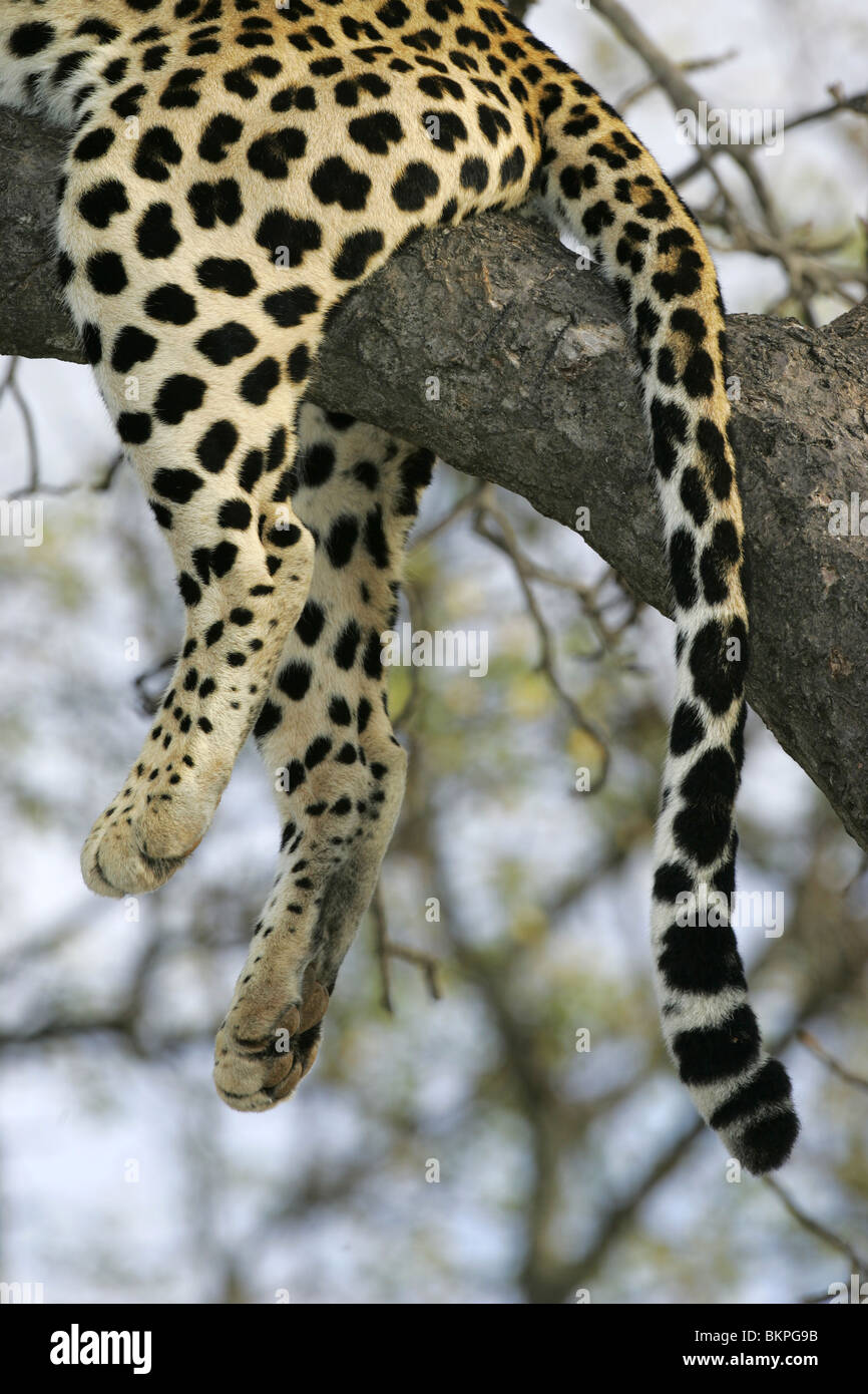 African Leopard, South Africa - Stock Image