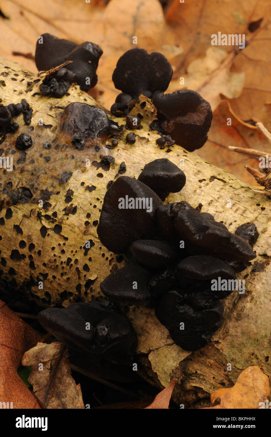 Black Witch's Butter scattered across fallen branch on forest floor - Stock Image