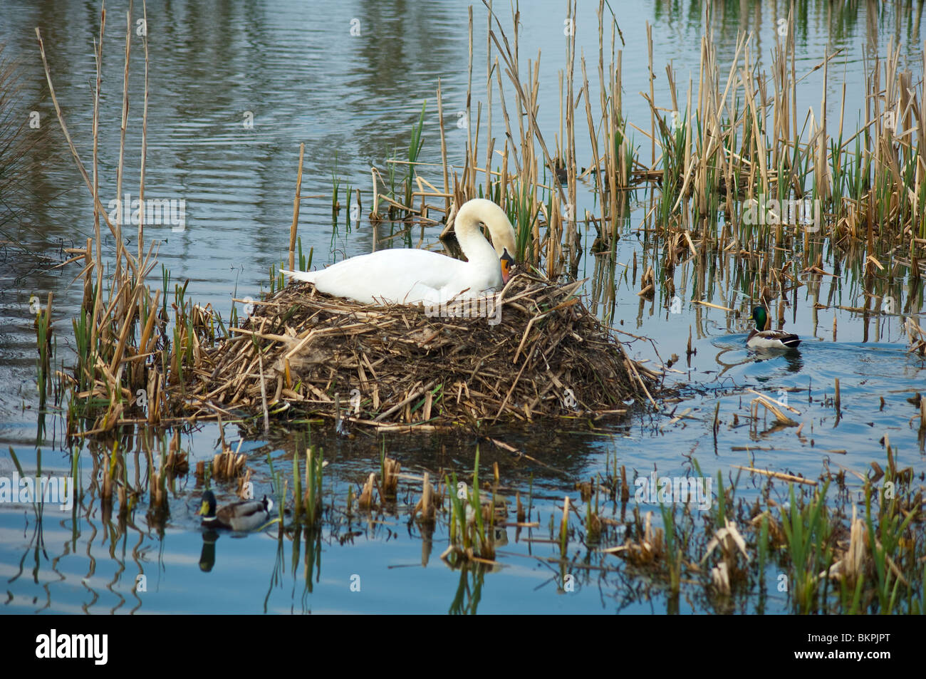 A swan broods over her reed island nest in the mill pond at Skerries, County Dublin, Ireland - Stock Image