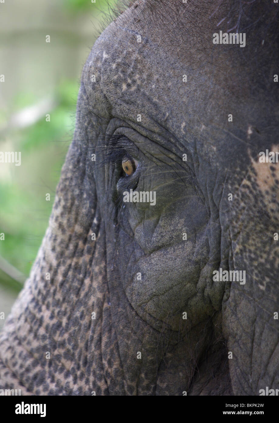 A close up of an Indian elephant. - Stock Image