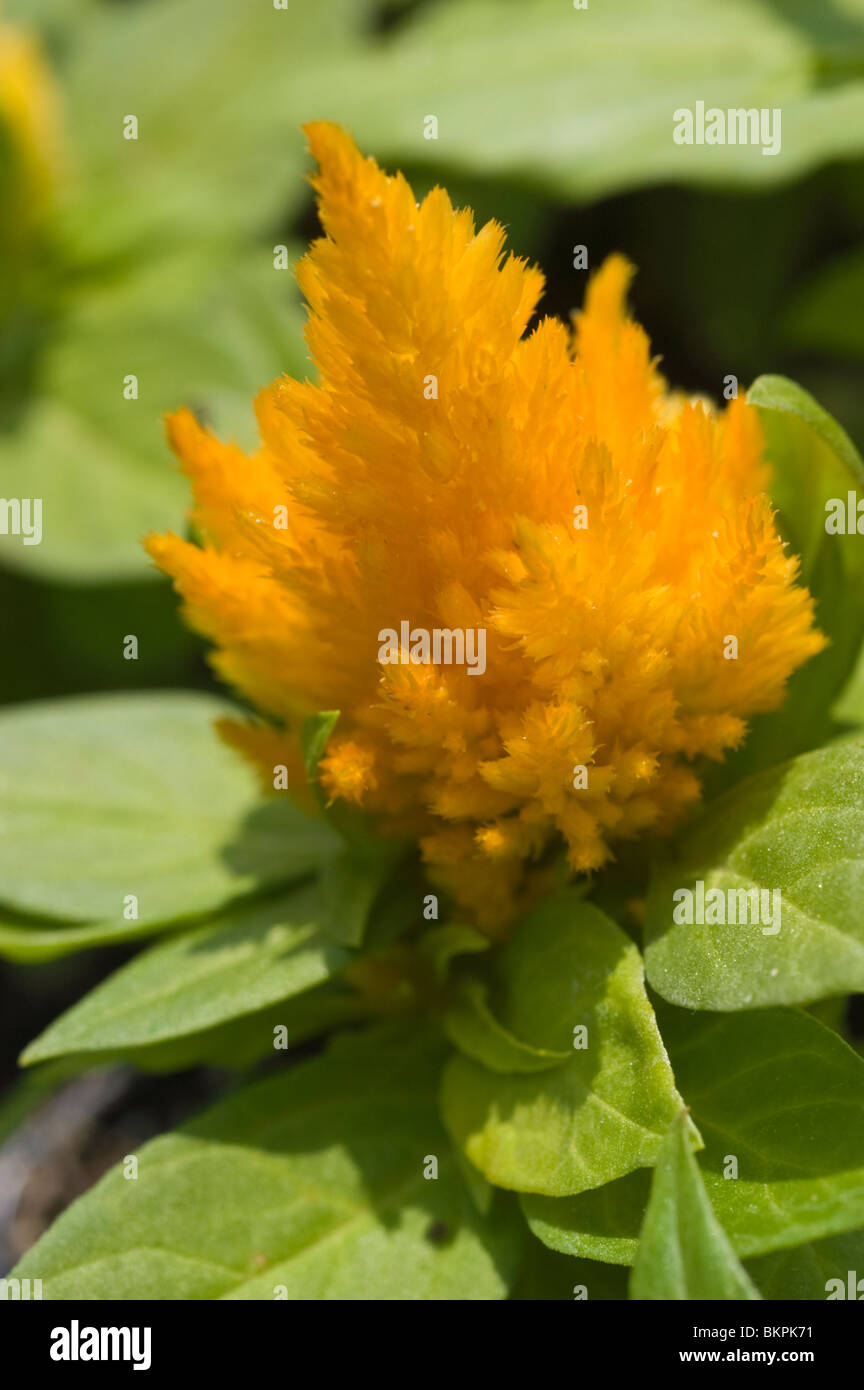 Yellow flower of celosia 'Jewelbox mix' - Stock Image
