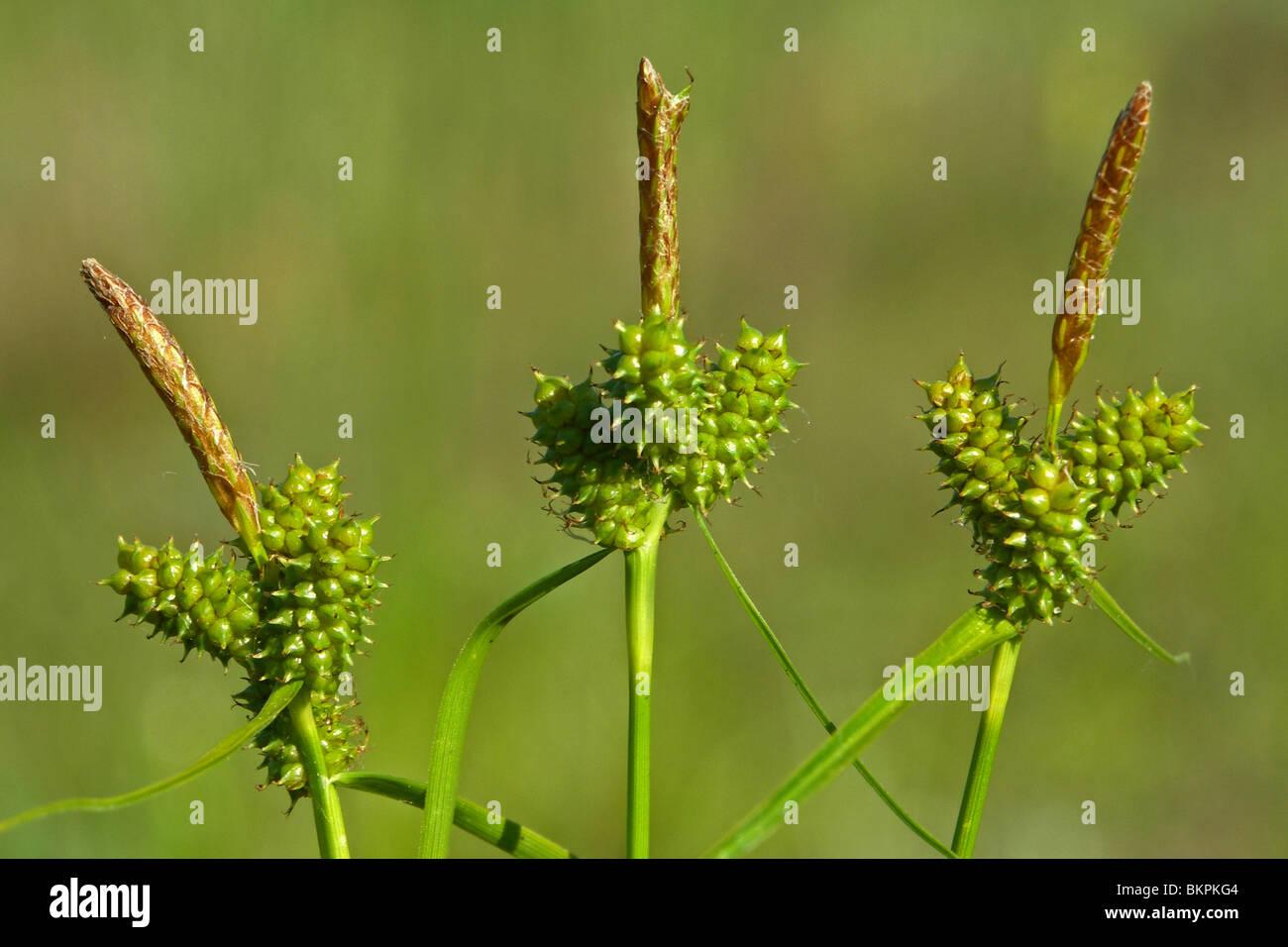 3 bloeiwijzen; het topaartje is mannelijk, de aartjes daaronder zijn vrouwelijk - Stock Image