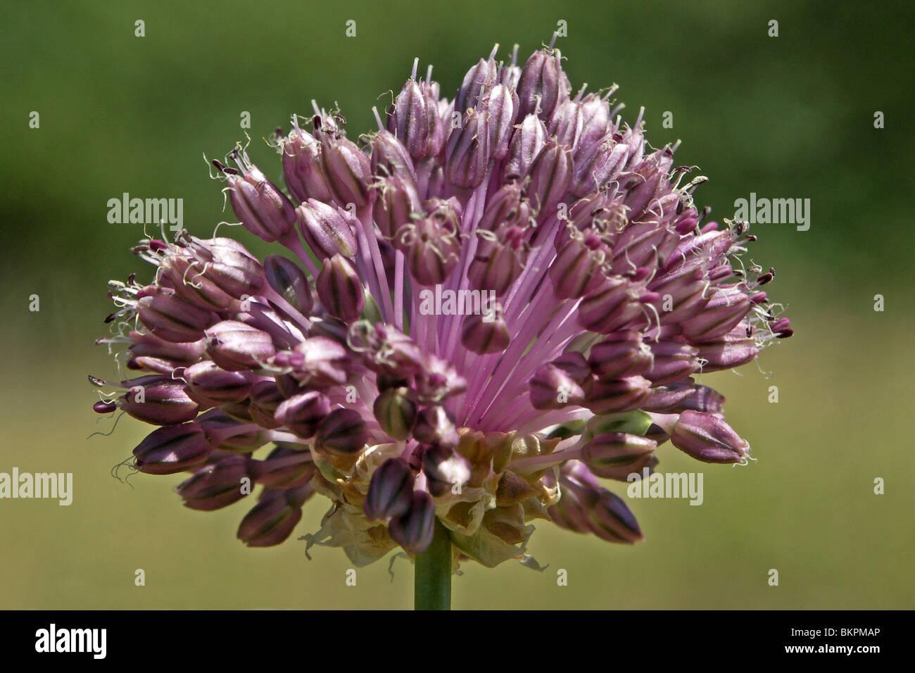 zijaanzicht close up van bloeiwijze met bloemen, zonder bolletjes Stock Photo