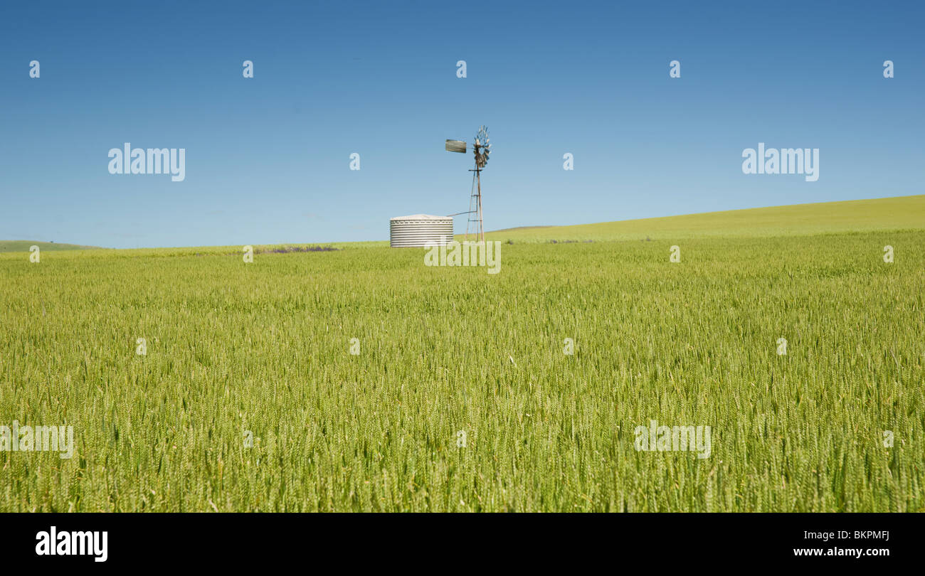 great panoramic image of a field of wheat in the country - Stock Image