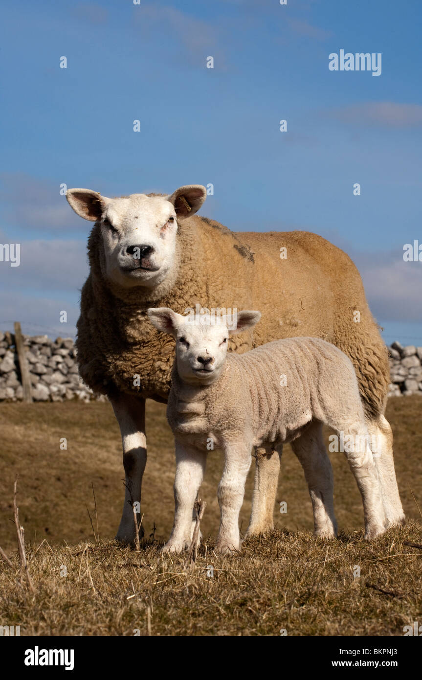 Texel ewe and young lamb. Early Spring - Stock Image