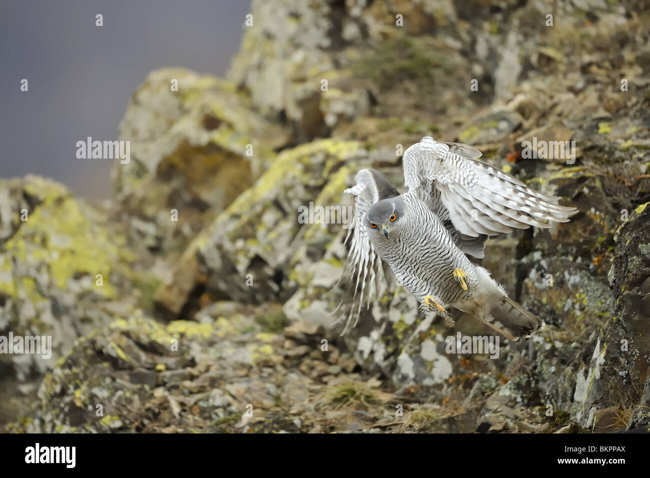 Northern goshawk swooping down upon a prey from a rock - Stock Image