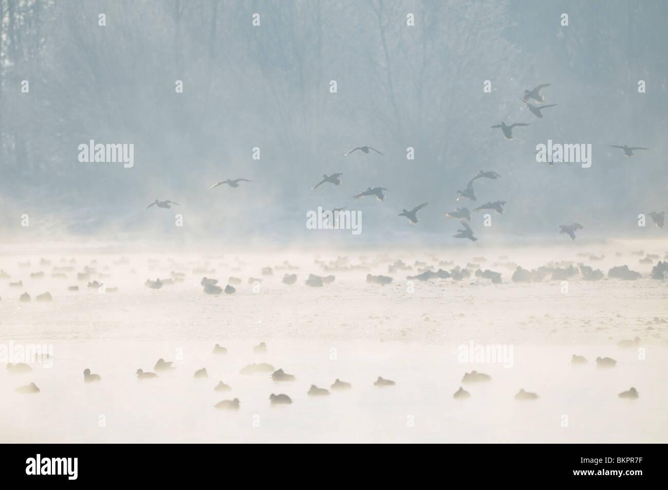 Zwemmende groep van diverse watervogels zwemmend en landend in dampend wak - Stock Image