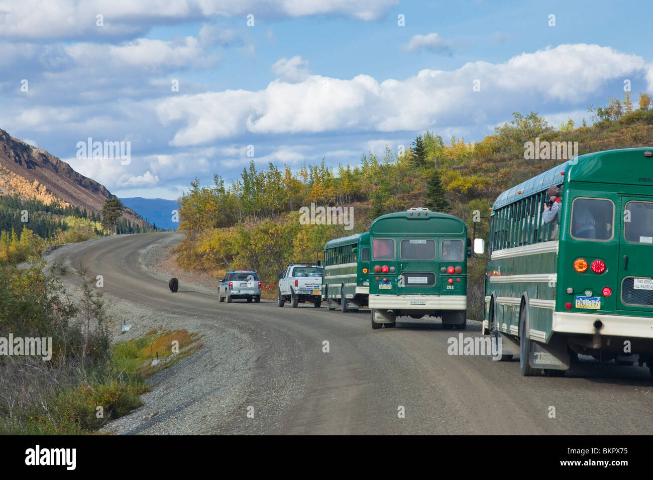 A grizzly bear walks on the park road followed by a parade of vehicles and buses in Igloo canyon in Denali National - Stock Image