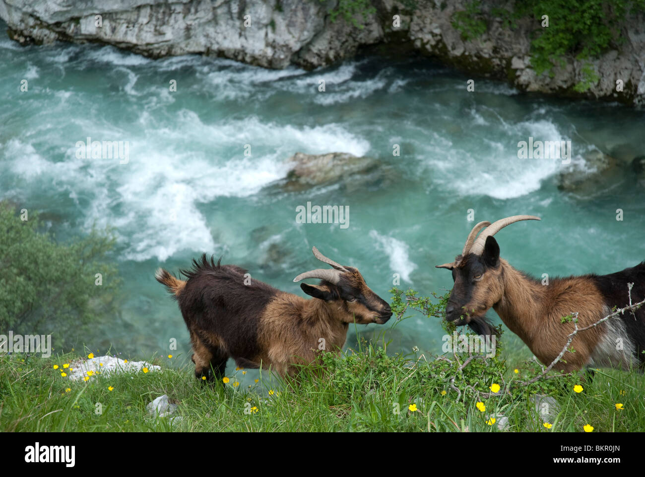 Wild goats, Cares Gorge, Central Massif, Picos de Europa, Spain - Stock Image