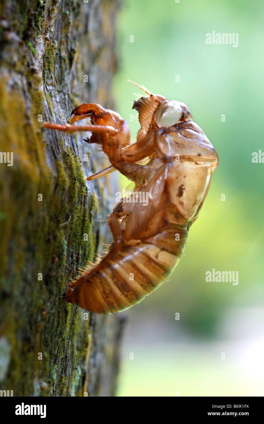 Cicada Nymph Skin - Stock Image