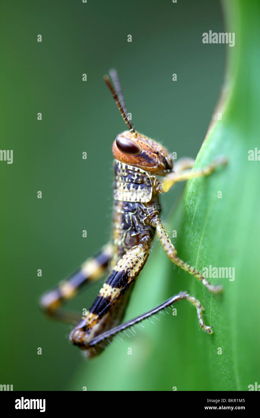 grasshopper nymph - Stock Image