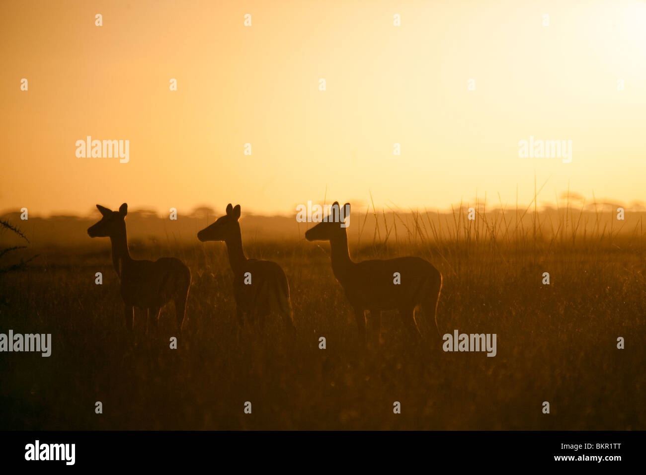 Tanzania, Serengeti. A small herd of impala alert in the early morning mist. - Stock Image