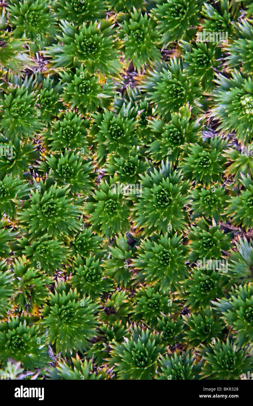 Ecuador, Chuquiragua grow on the lower slopes of Cotopaxi volcano. Used locally to cure kidney complaints. - Stock Image