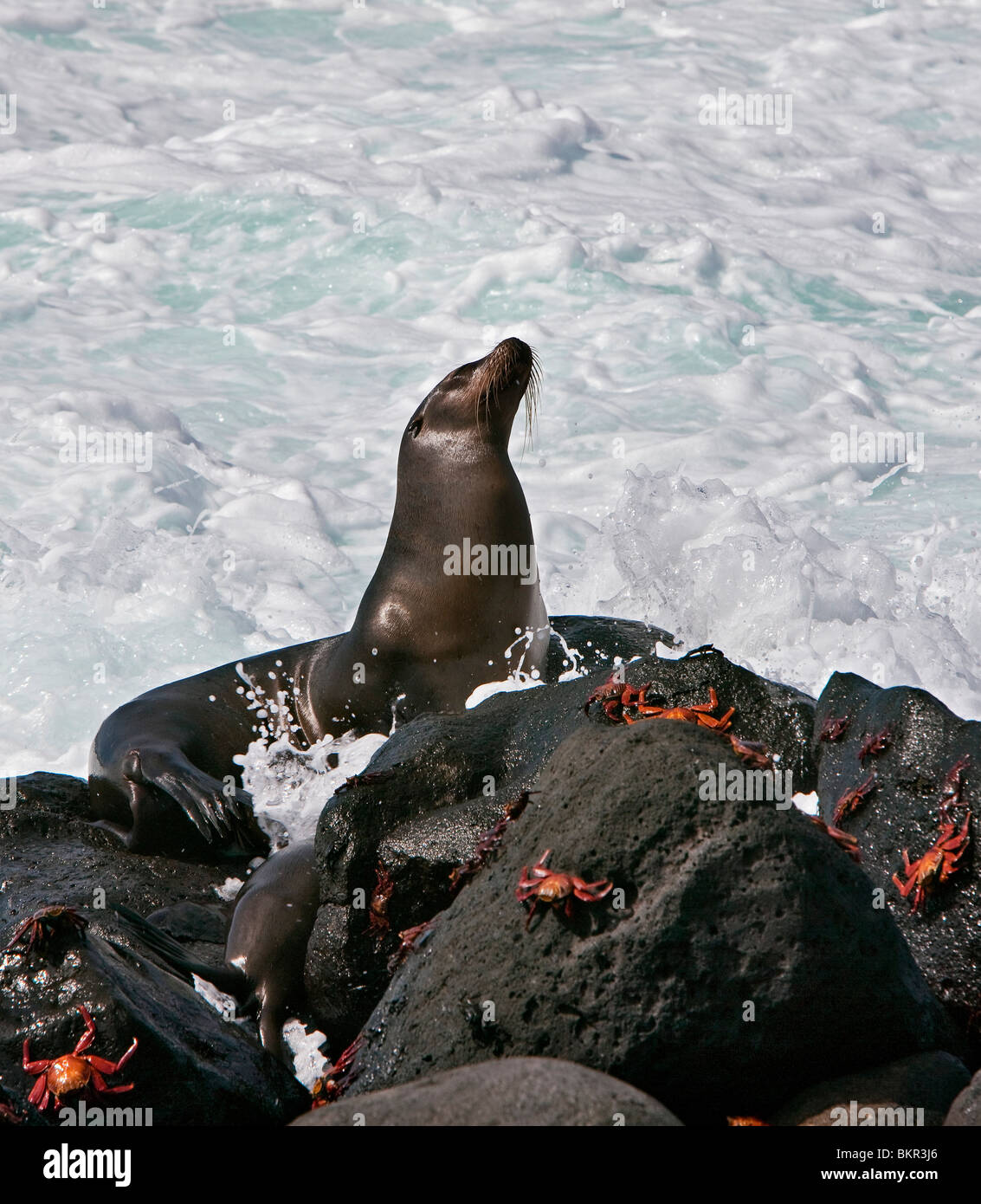 Galapagos Islands, A Galapagos sea lion and Sally lightfoot crabs on the shores of North Seymour island. - Stock Image