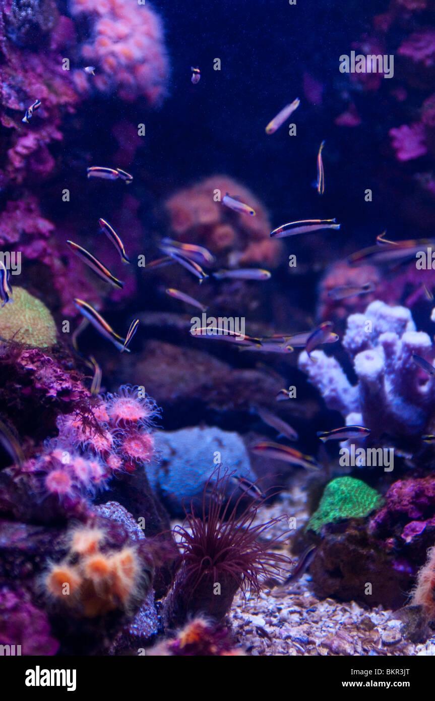 Fish swiming against coral background, Sydney Aquarium, Sydney, Australia - Stock Image