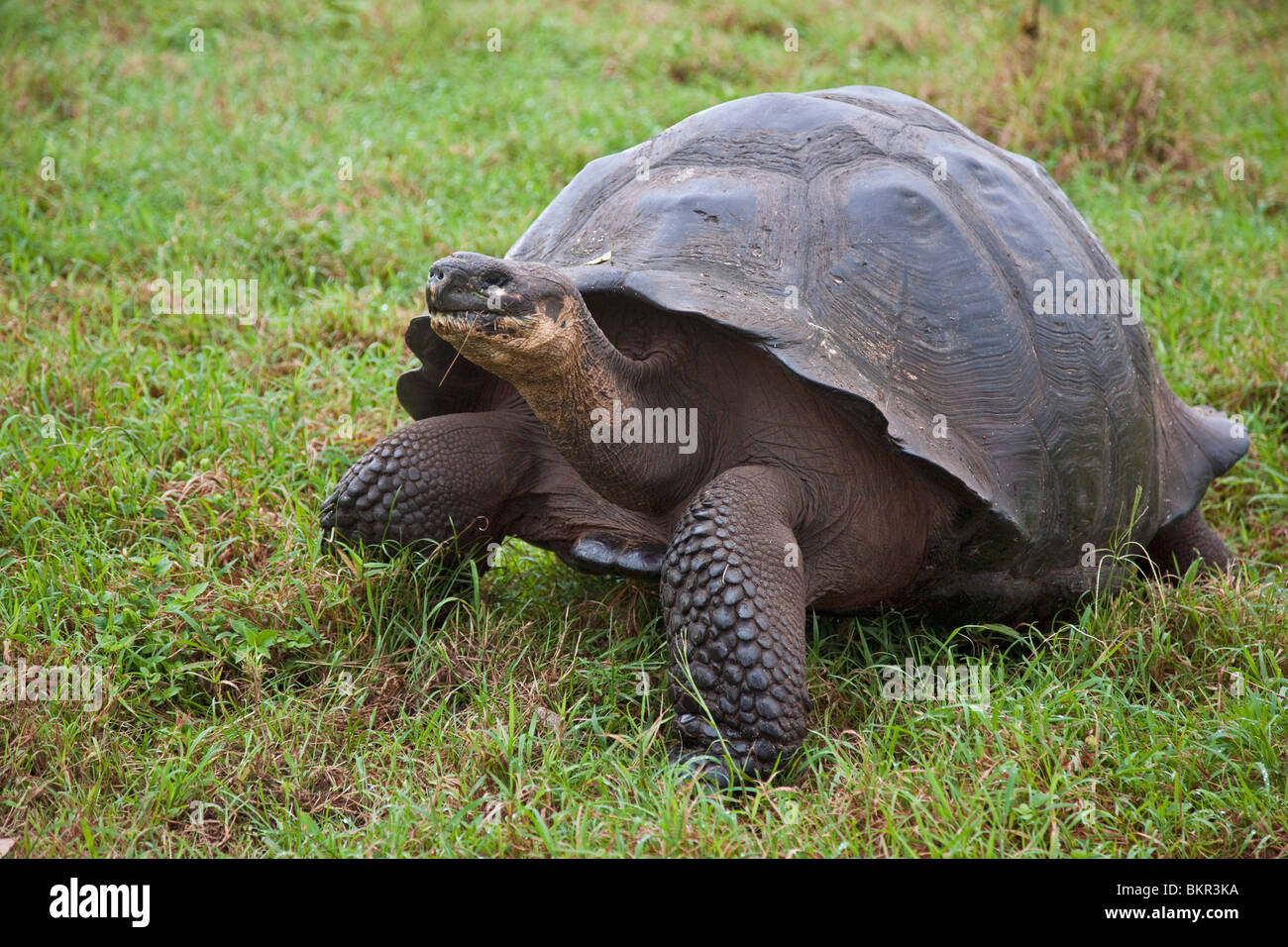 Galapagos Islands, A giant tortoise after which the Galapagos islands were named. - Stock Image