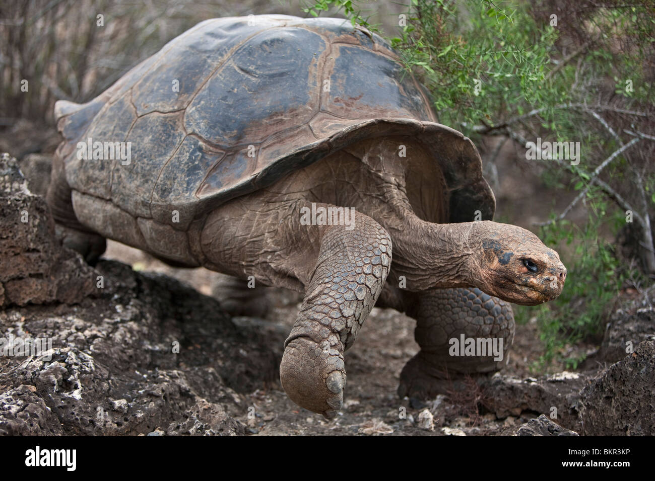 Galapagos Islands, A giant domed tortoise after which the Galapagos islands were named. - Stock Image