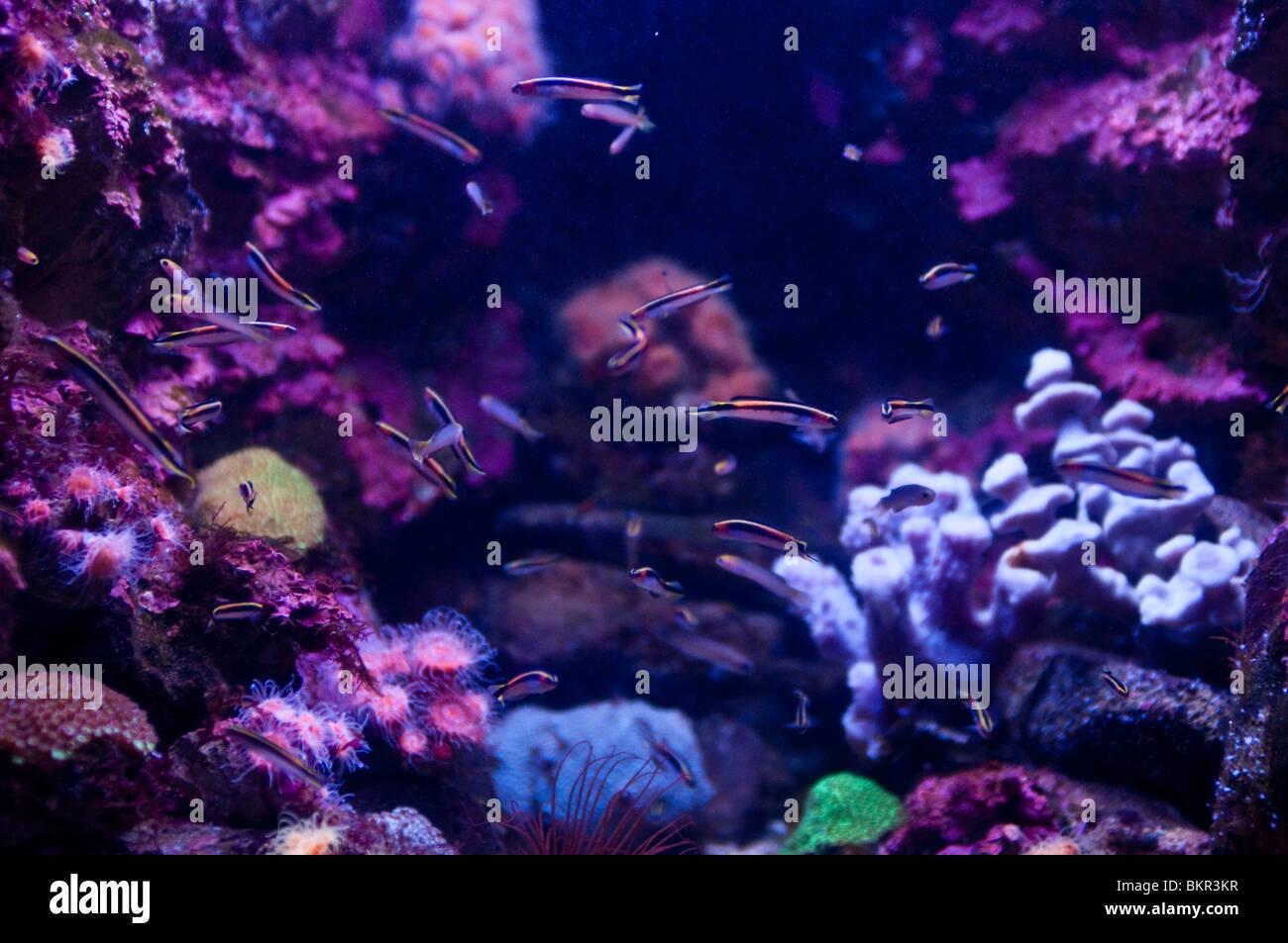 Fish swimming against coral background, Sydney Aquarium, Sydney, Australia - Stock Image