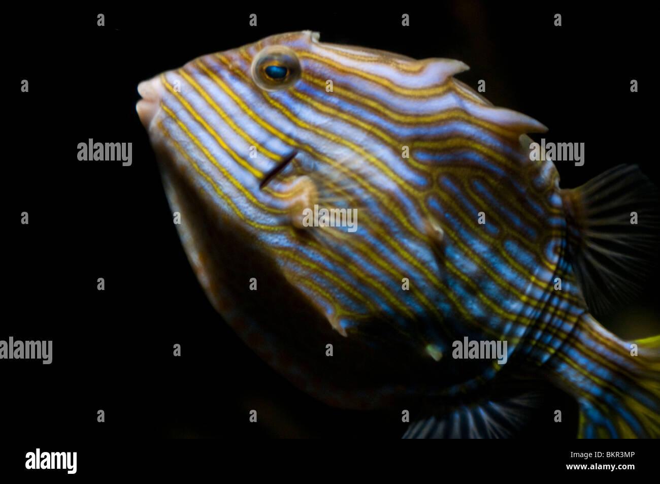 Female Shaw's cowfish, Aracana aurita, Sydney Aquarium, Sydney, Australia - Stock Image