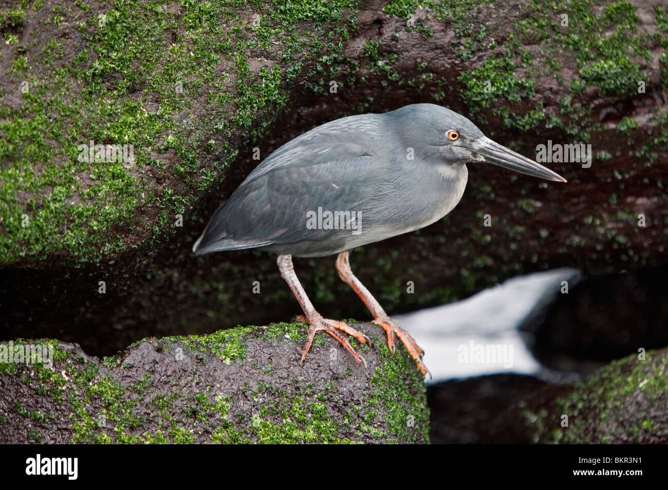 Galapagos Islands, A lava heron in characteristic hunched pose on Espanola island. - Stock Image