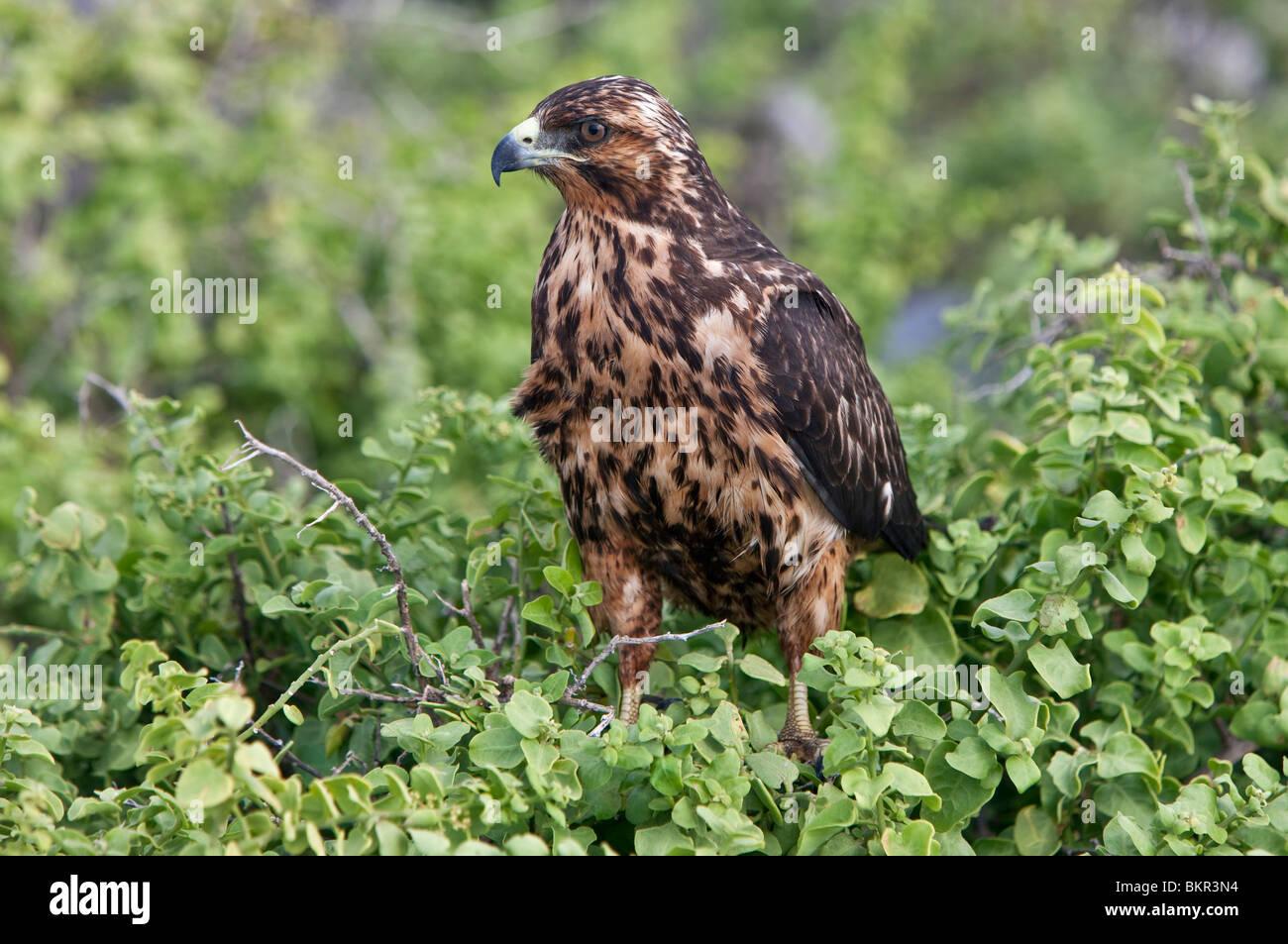 Galapagos Islands, A juvenile Galapagos hawk at Punta Suarez. - Stock Image