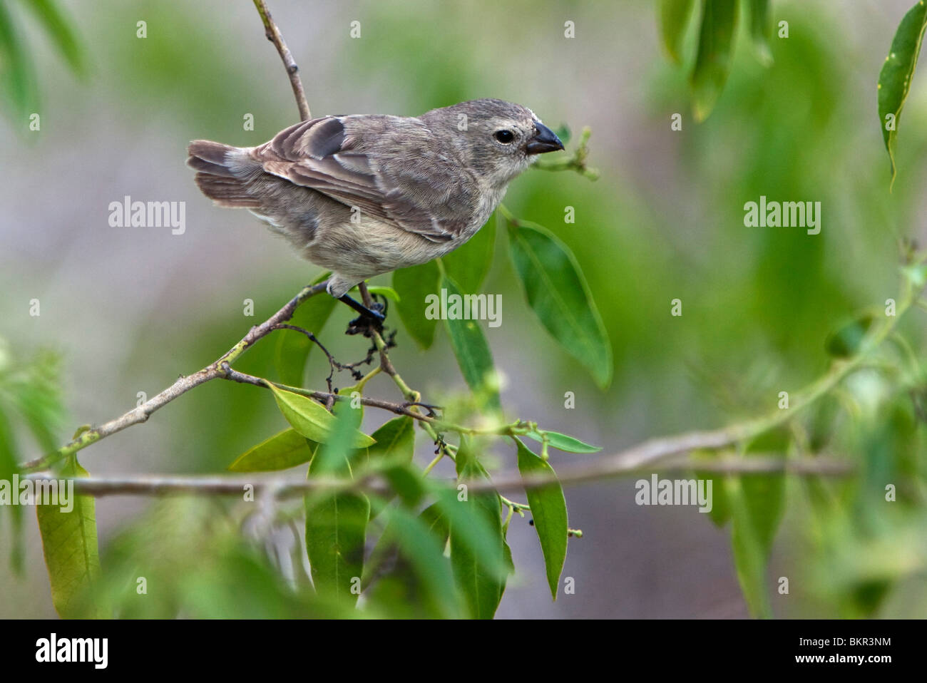 Galapagos Islands, A medium tree finch which is endemic to Floreana island. - Stock Image