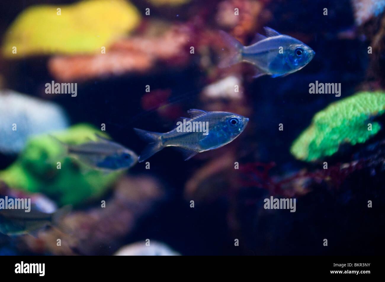 Fish swiming against fluorescent coral, Plesiastrea versipora, Sydney Aquarium, Sydney, Australia - Stock Image