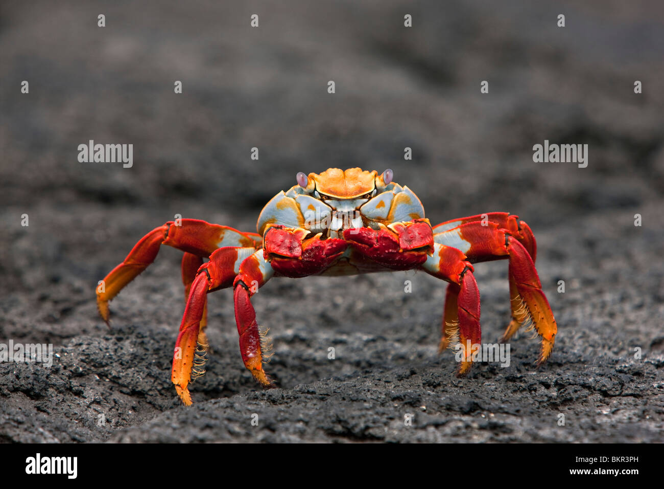 Galapagos Islands, The bright Sally lightfoot crab    or red lava crab - on Fernandina Island. - Stock Image