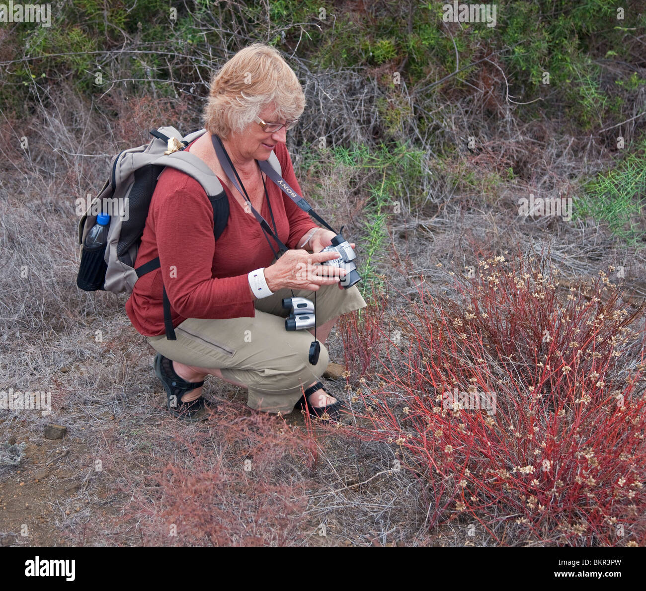 Galapagos Islands, A visitor to Santiago Island photographs the herbaceous plant Alternanthera spp.. - Stock Image