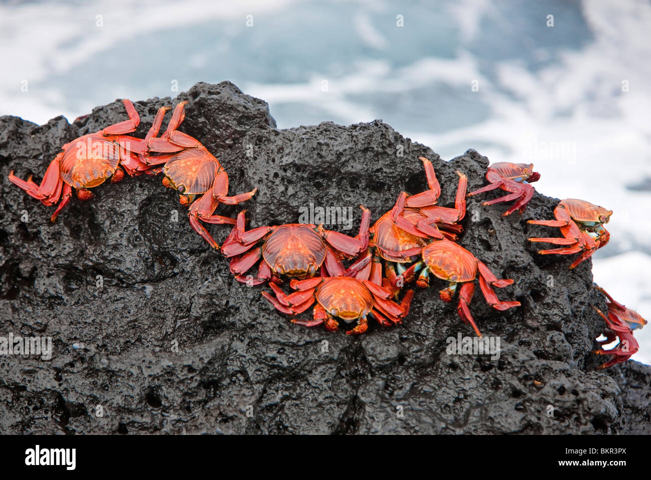 Galapagos Islands, Brightly coloured Sally lightfoot crabs or red lava crabs - on Santiago Island. - Stock Image