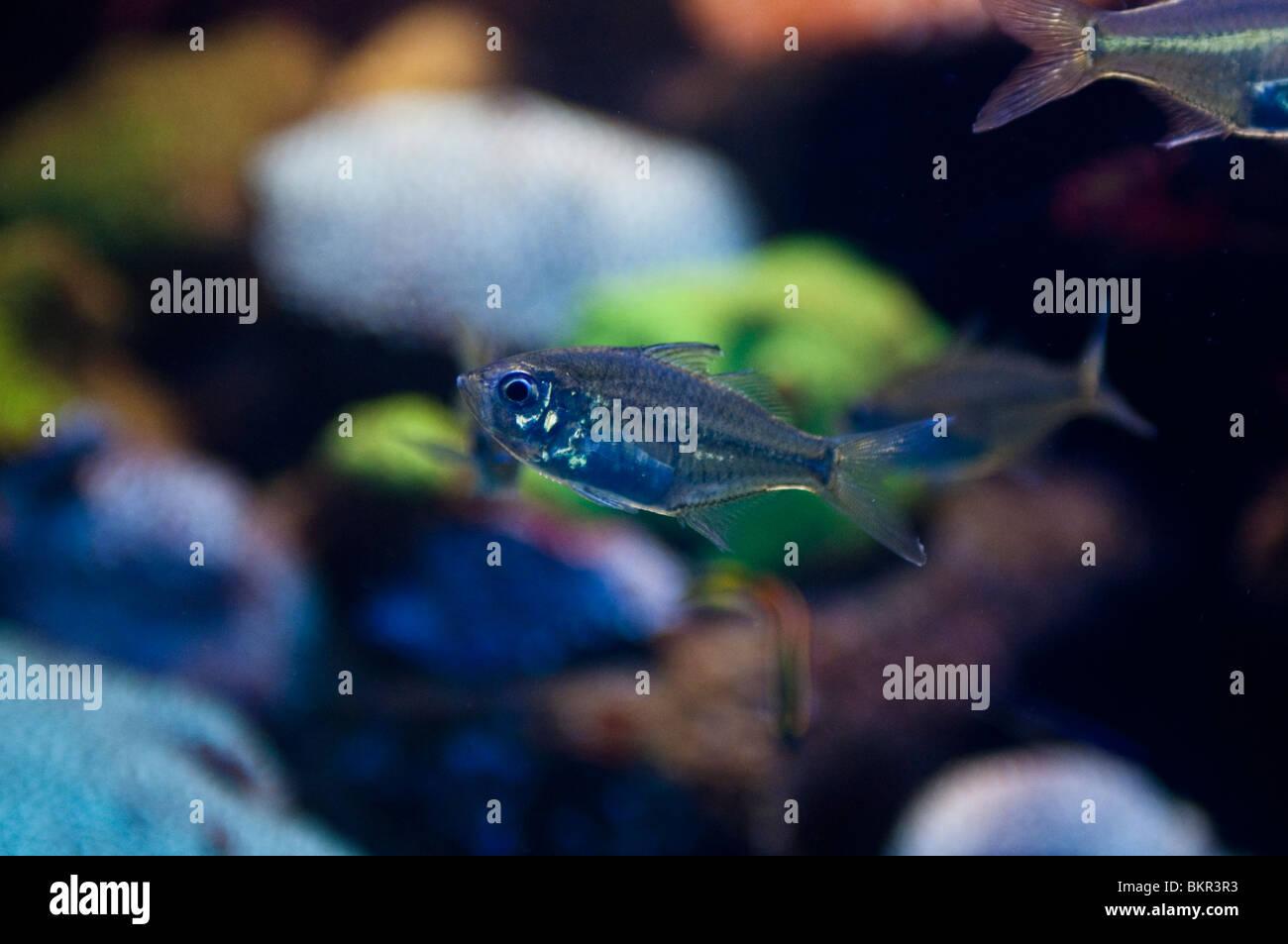 Fish swimming against fluorescent coral,  Sydney Aquarium, Sydney, Australia - Stock Image