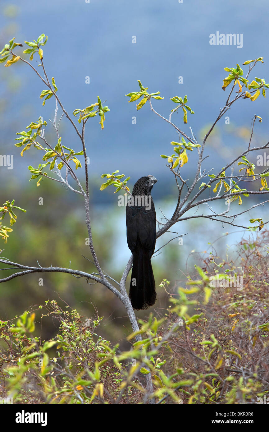 Galapagos Islands, Smoothed-billed ani, Santiago island, probably introduced by farmers to alleviate cattle tick - Stock Image