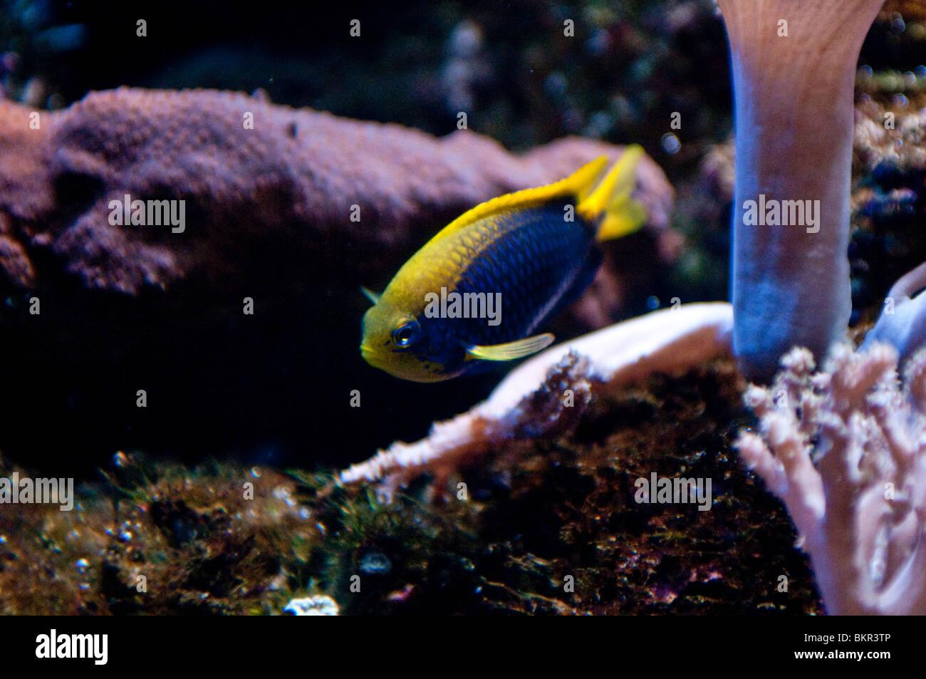 Fish, Great Barrier Reef, Sydney Aquarium, Sydney, Australia - Stock Image