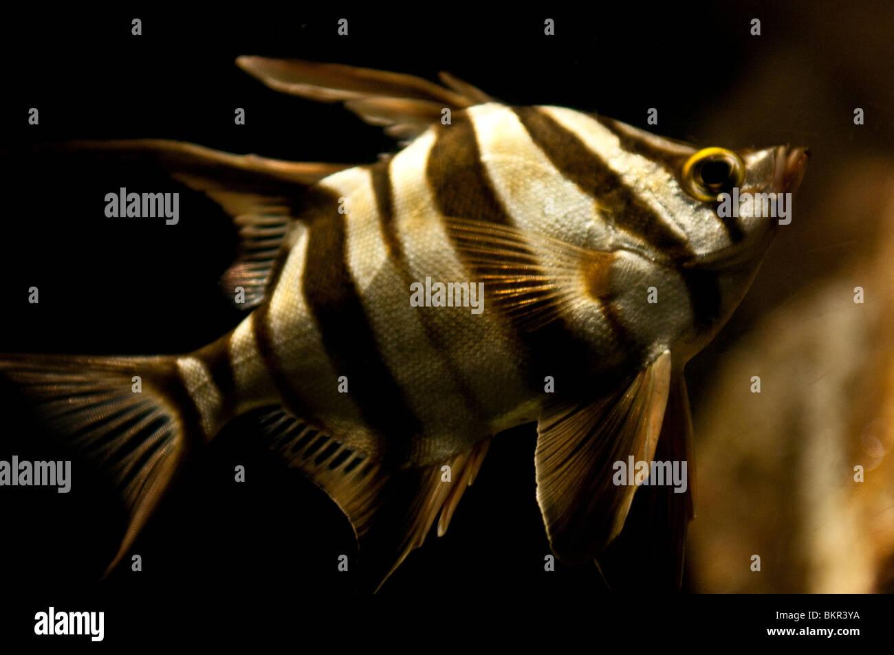Fish, Sydney Aquarium, Sydney, Australia - Stock Image