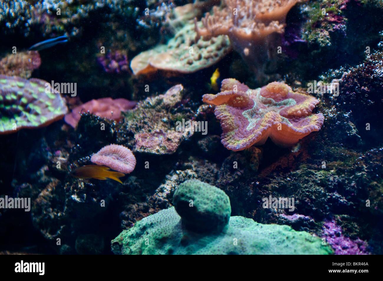 Great Barrier Reef corals, Sydney Aquarium, Sydney, Australia - Stock Image
