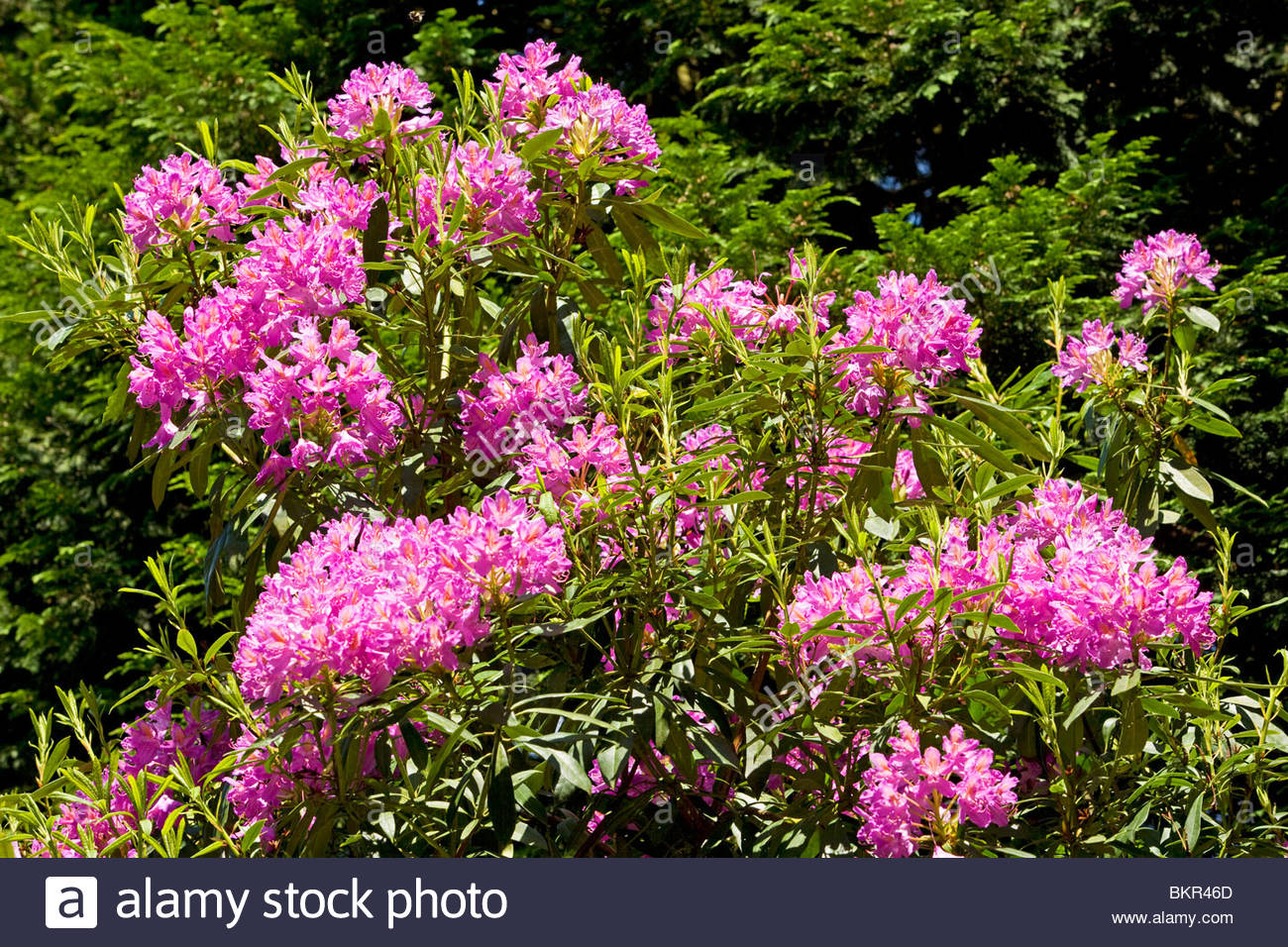 Rhododendron Flowers (Rhododendron ponticum), Lancashire, England, UK - Stock Image