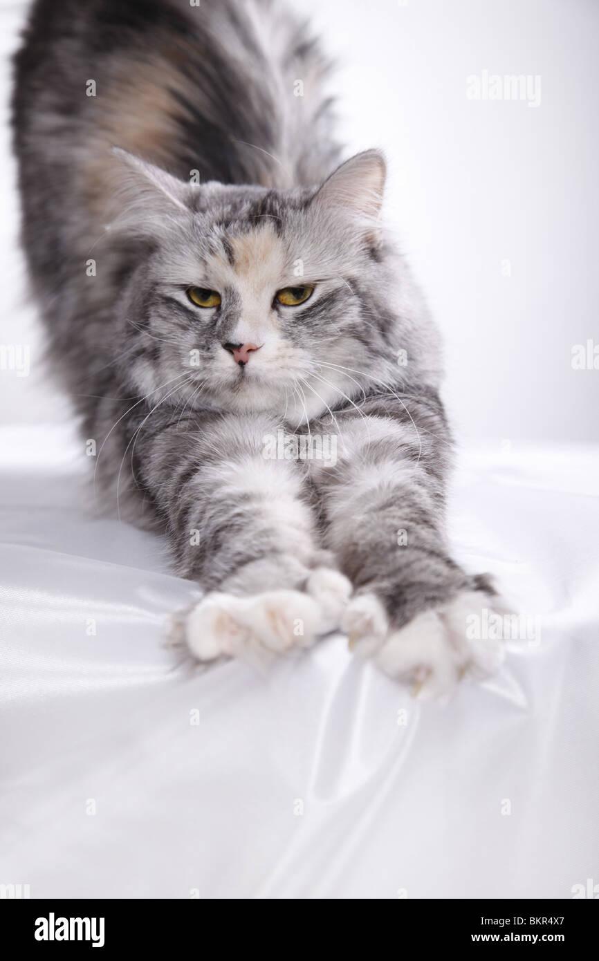 Sibirische Katze / Siberian Cat - Stock Image
