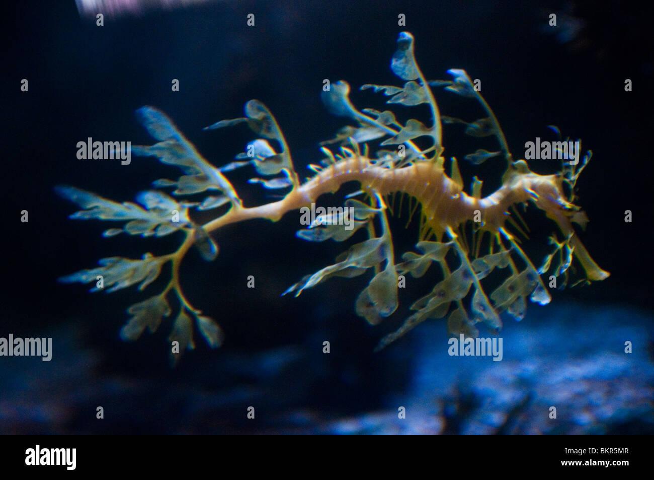 Leafy Sea Dragon, Phycodurus eques, Sydney Aquarium, Sydney, Australia - Stock Image