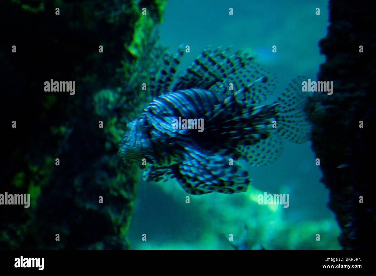 Lion Fish, Pterois volitans, Sydney Aquarium, Sydney, Australia - Stock Image