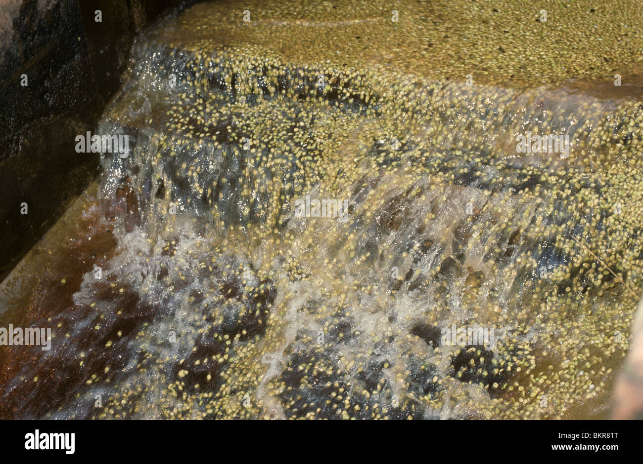 Washing and grading pulped coffee beans, Nairobi, Kenya - Stock Image