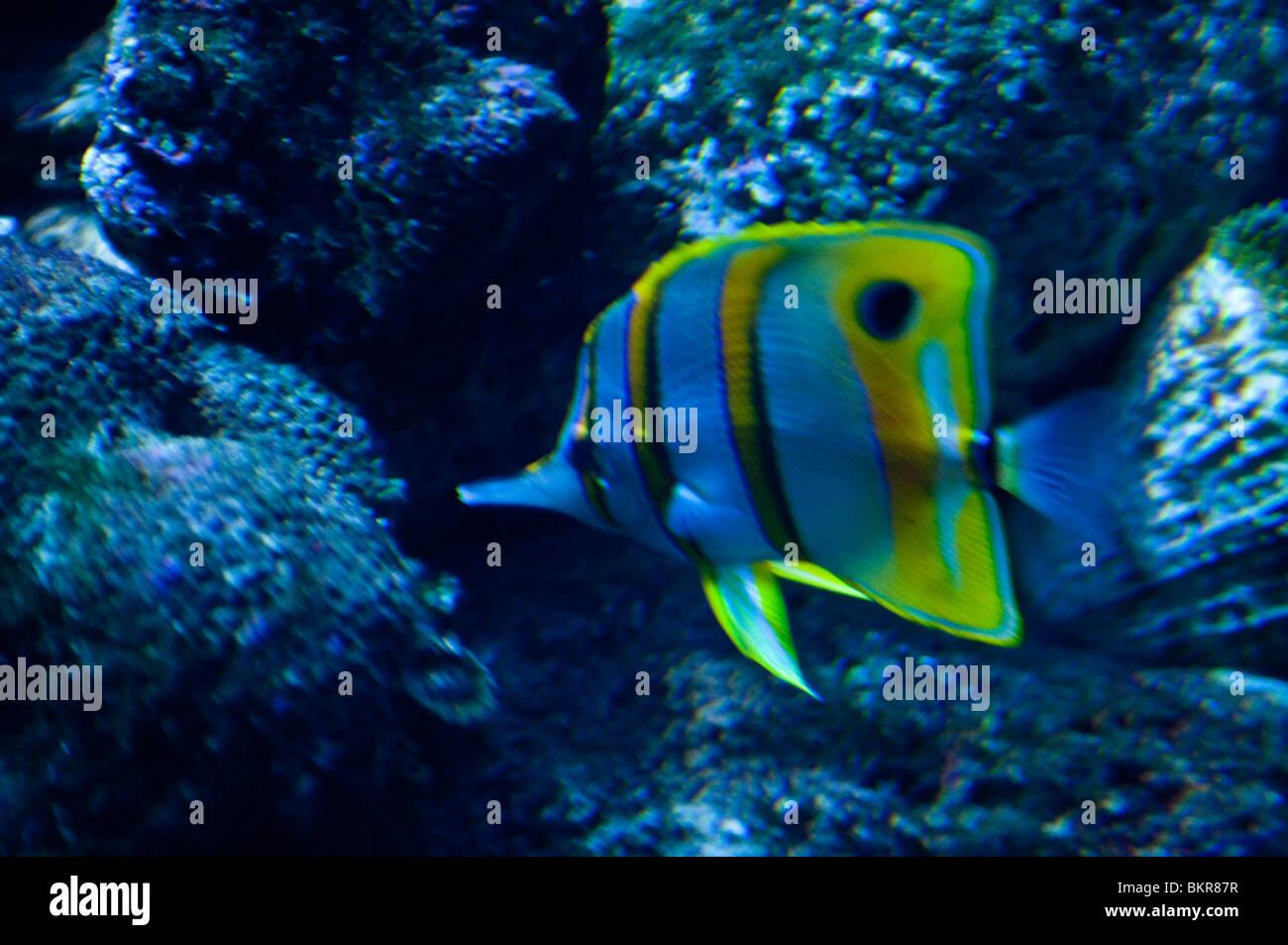 Beaked coralfish, Chelmon rostratus, Sydney Aquarium, Sydney, Australia - Stock Image