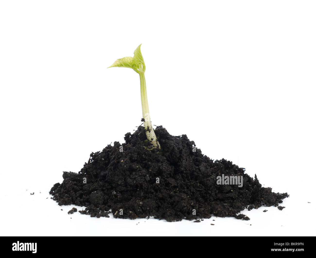 Young bean sprout growing on soil hump - shot over white background - Stock Image