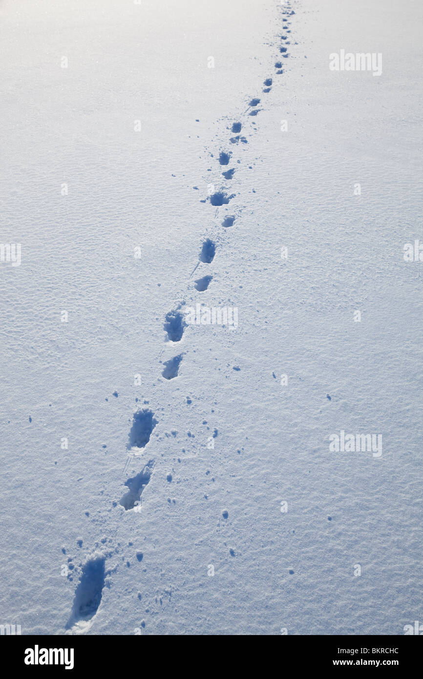 Dog tracks on fresh new snow at Winter - Stock Image