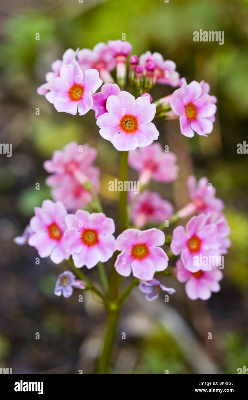 Pink Spring Flowers Of Japanese Primrose Japanese Cowslip