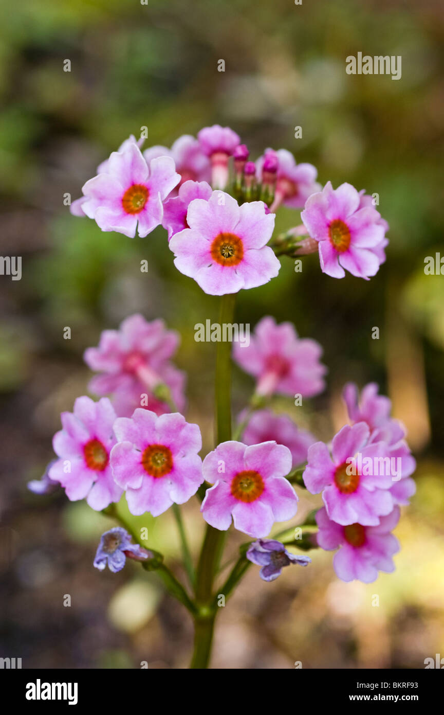 Pink Spring Flowers Of Japanese Primrose Japanese Cowslip Primula