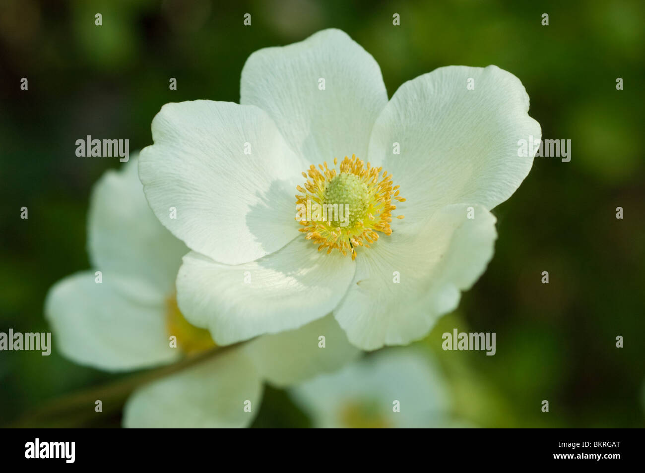 Anemone sylvestris, Yellow white flowers, Common wood anemone, Woodland drifts, wildflowers , Ranunculaceae, spring, - Stock Image