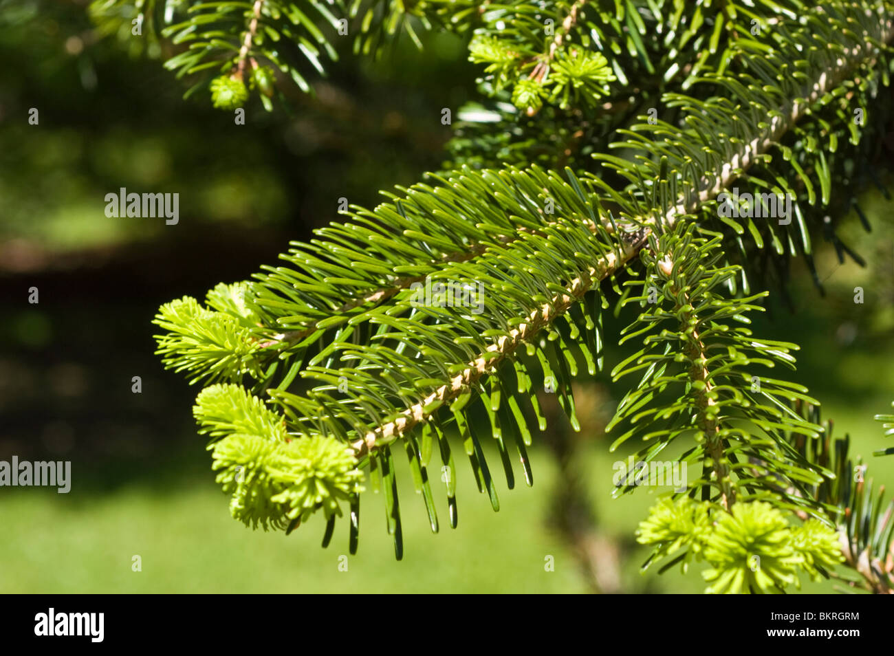 Nordmann Fir, Abies Nordmanniana, Pinaceae, Caucasus range, Asia, jodla kaukaska - Stock Image