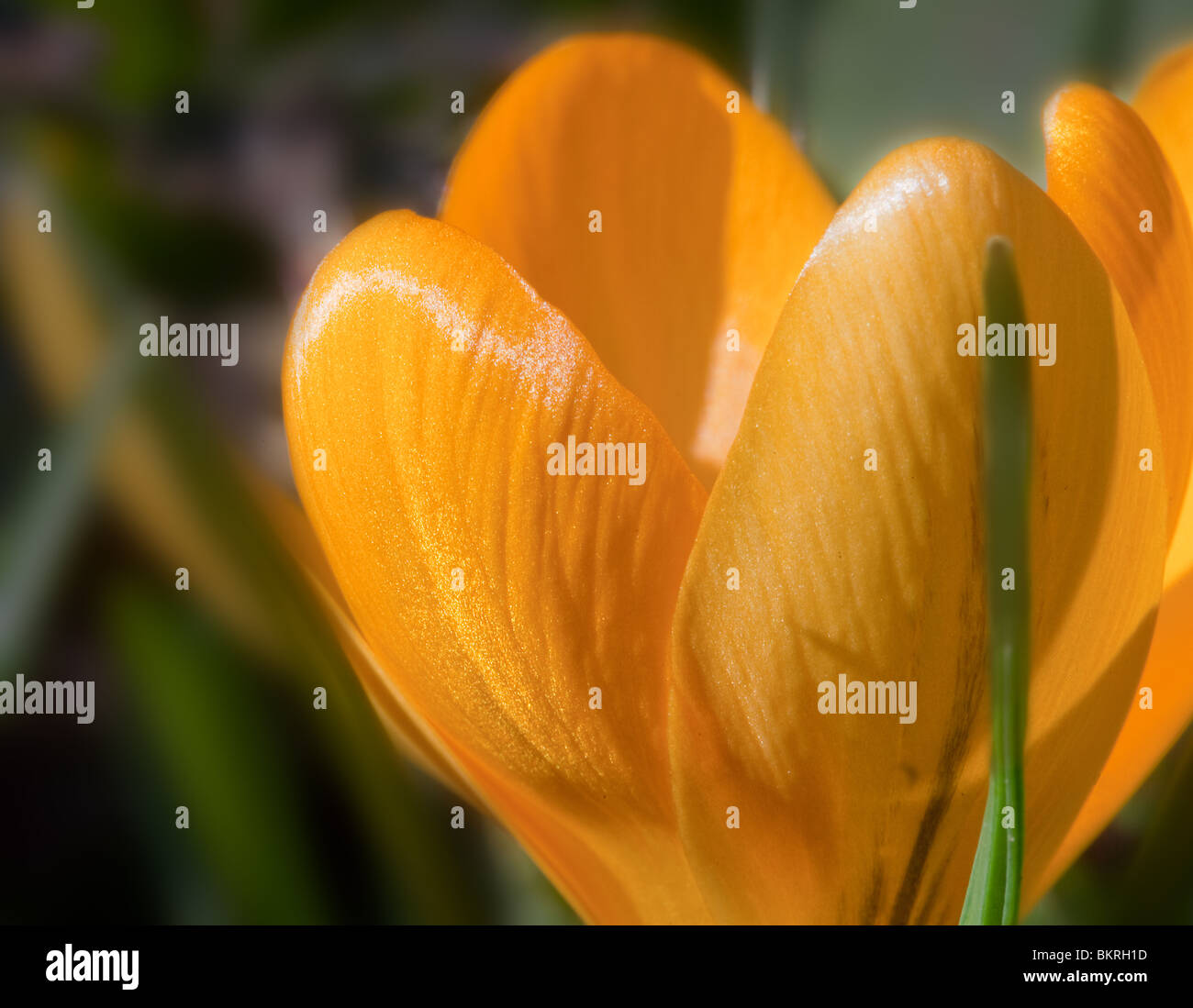 Close up of a yellow crocus flower with depth of focus control - Stock Image
