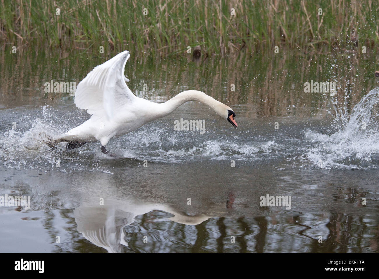Mute swan chasing in aggressive pose in the Llangorse lake, with the water rippling and splashing against a background - Stock Image